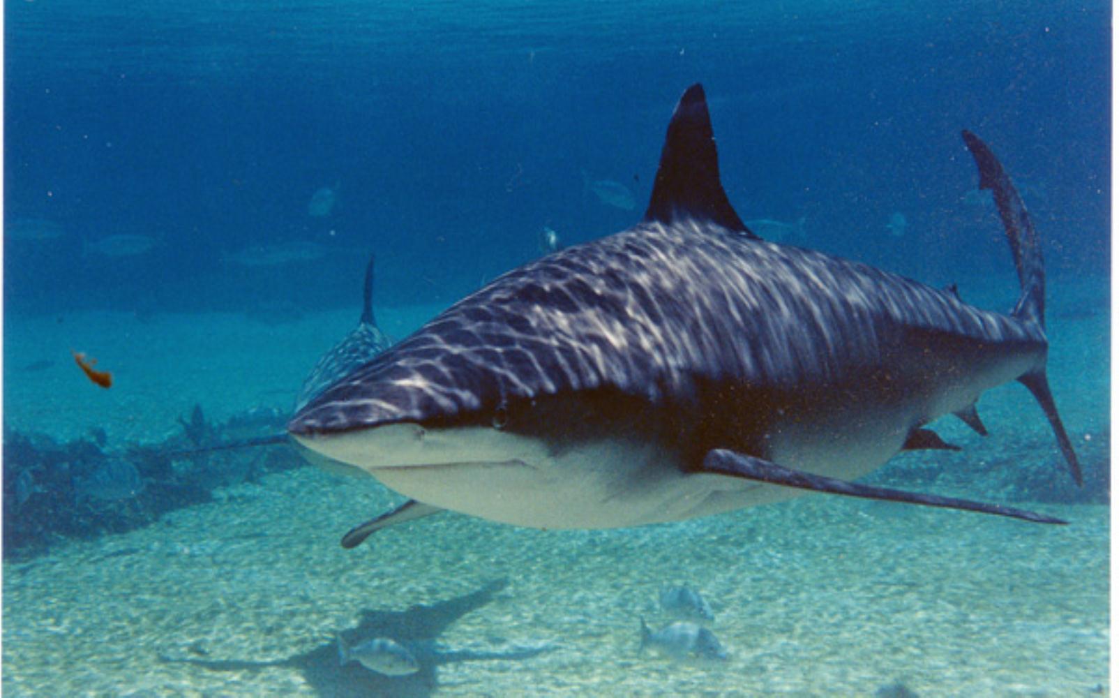 Zambezi or bull shark