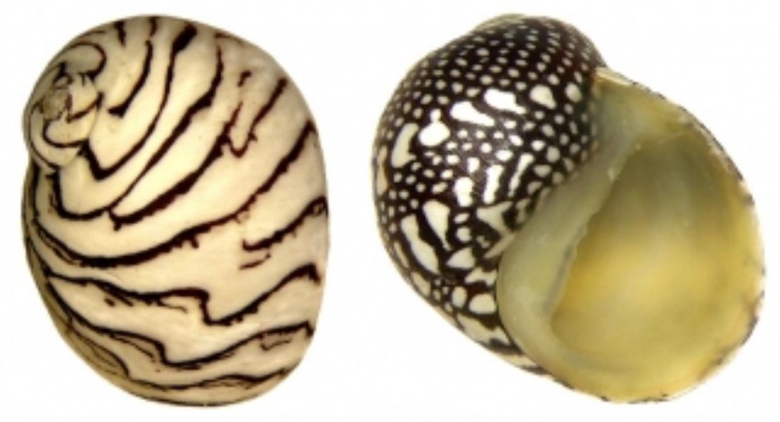 Zebra Nerite