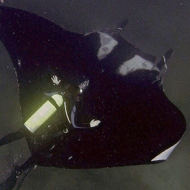 Bajo Cope buceo con Mantas Gigantes todos los años desde Junio a Septiembre