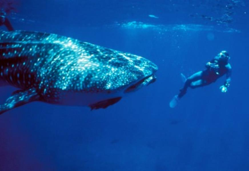 1-cocos-island-whale-shark