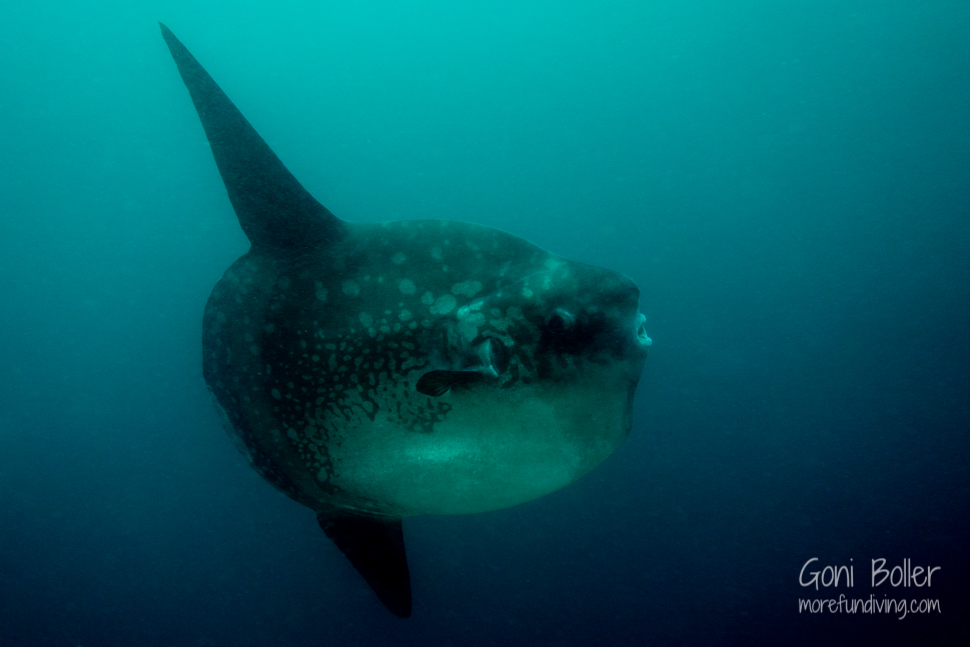 The mighty mola mola