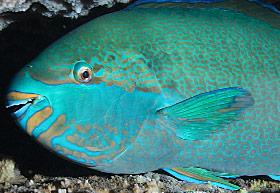 280fishinfo-parrot2