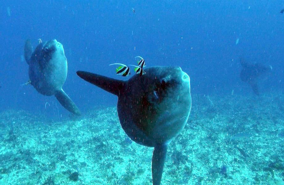 3 Mola Mola
