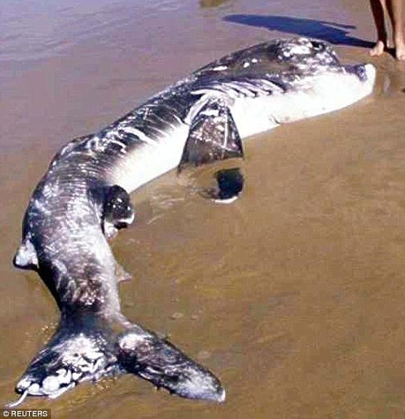 333A900600000578-3542917-A_12_foot_megamouth_shark_on_a_South_African_beach_where_it_was_-m-12_1460784706170