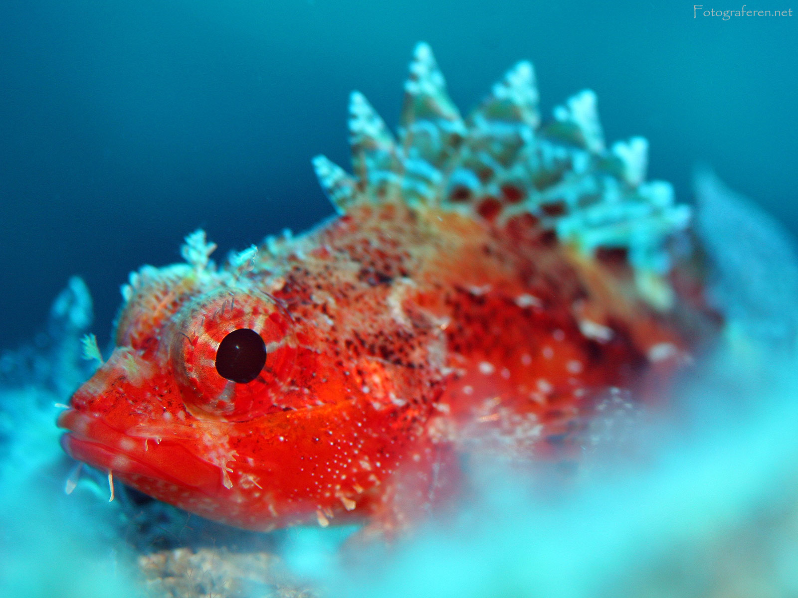 Macro of a Scorpionfish. Kas, Turkey. 2005. Photo Credit: Rutger Geerling