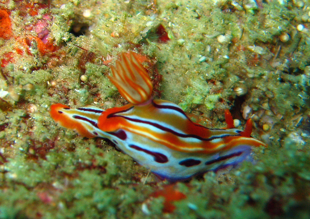 Nudibranch Photo by: Andy Walker Link: https://flic.kr/p/8MYoiU