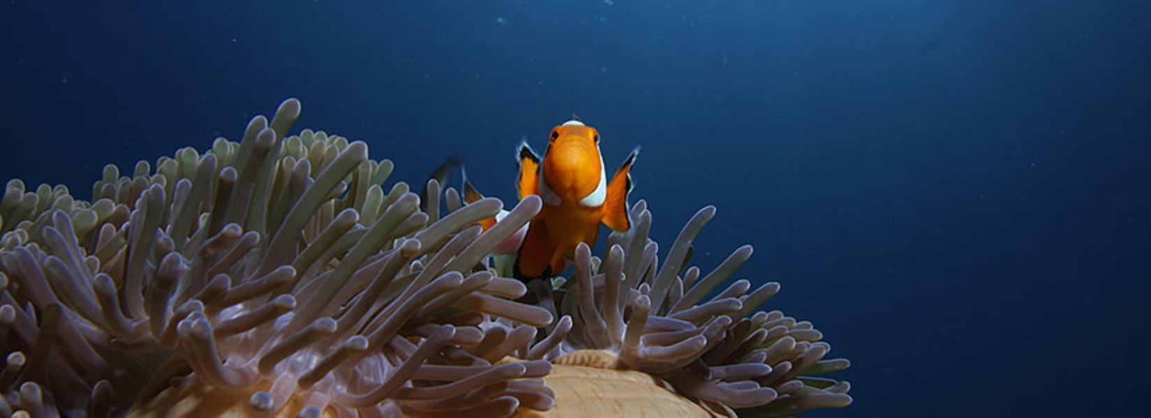 855fishinfo-clownfish