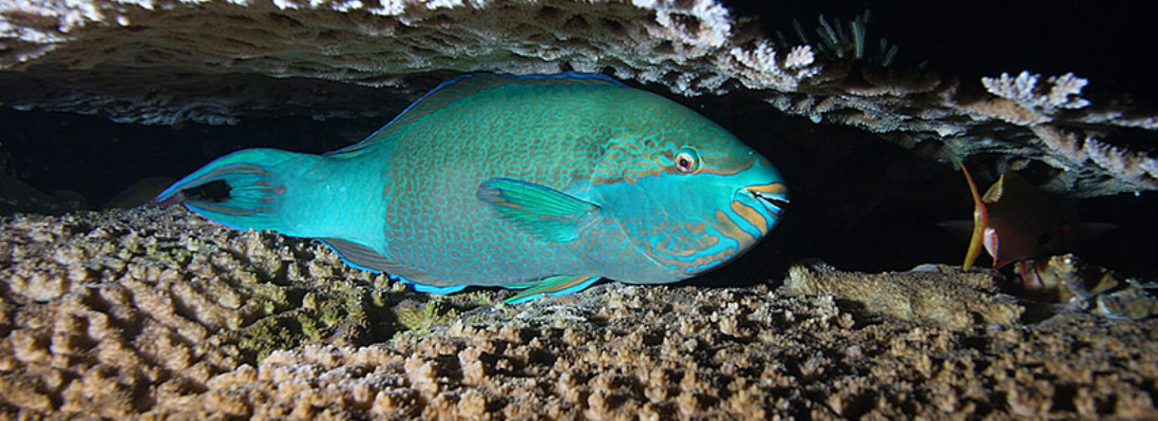 855fishinfo-parrotfish
