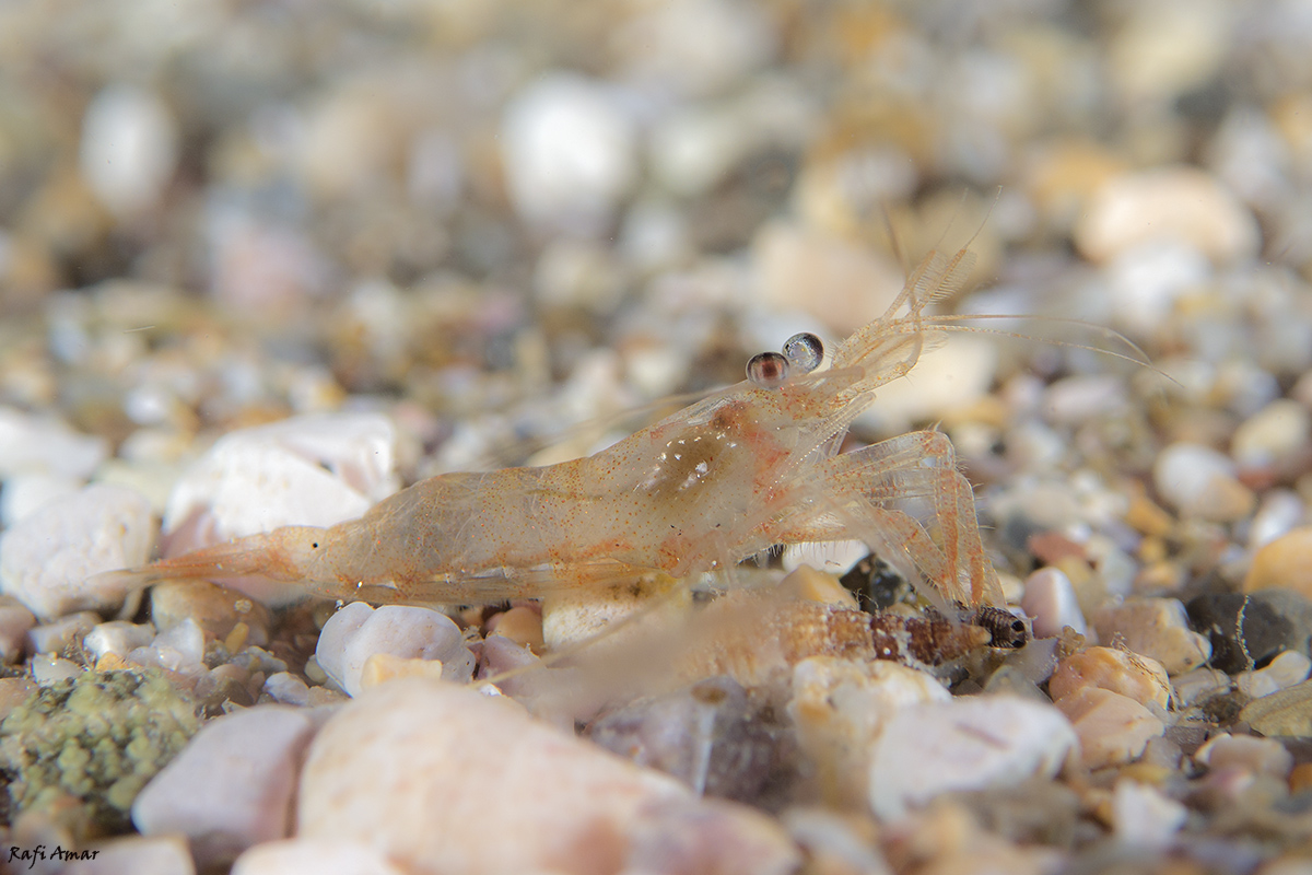 Shrimp eat A small shrimp for dinner ..
