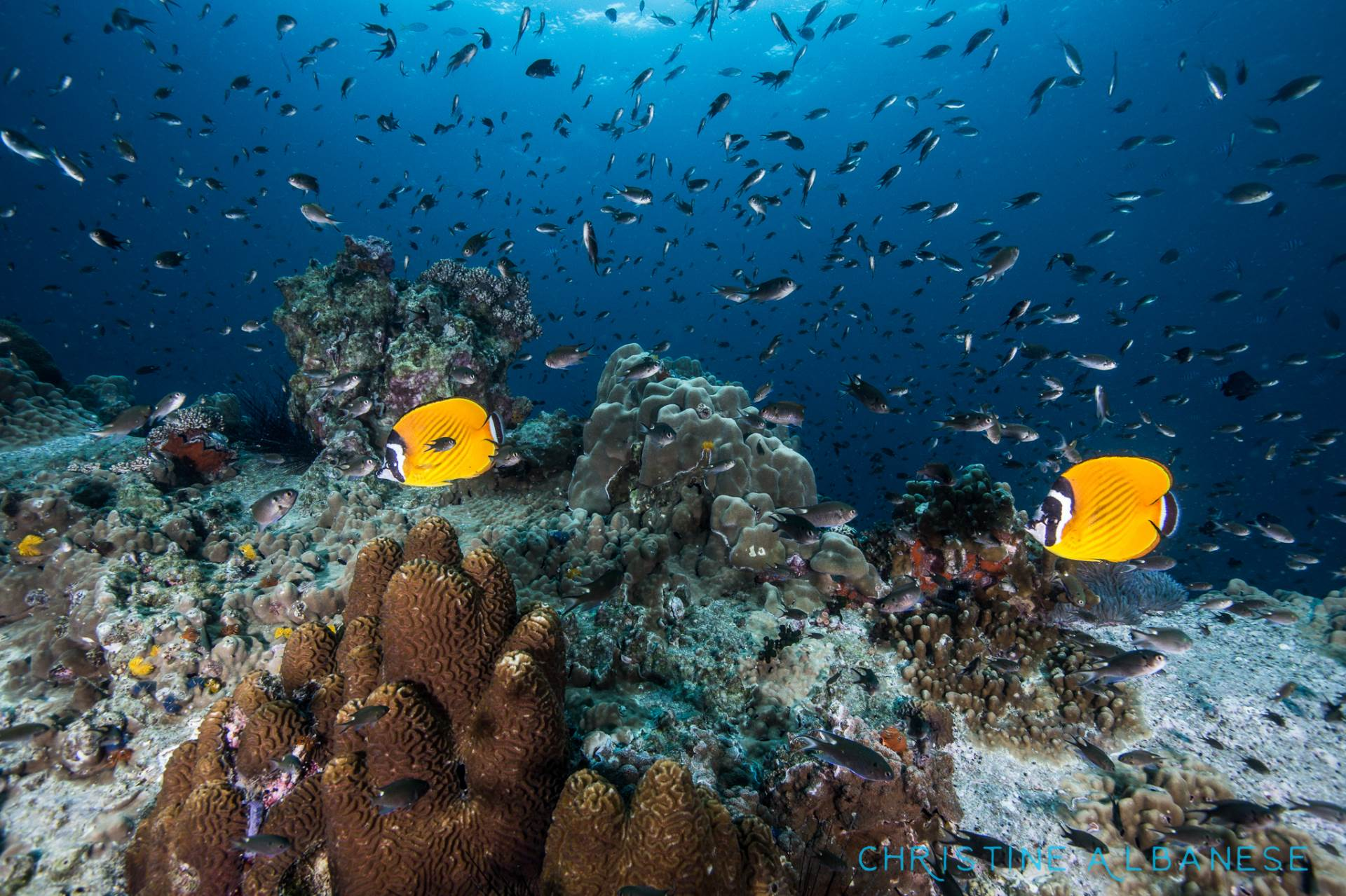 A pair of yellow butterfly fish search the reef at Southwest Pinnacle for food..