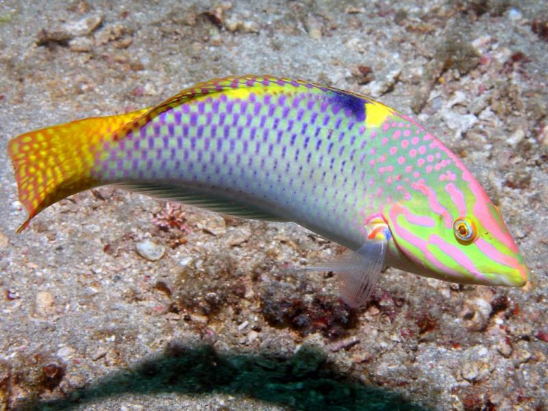Adventure Scuba Diving Bali  - Checkerboard Wrasse