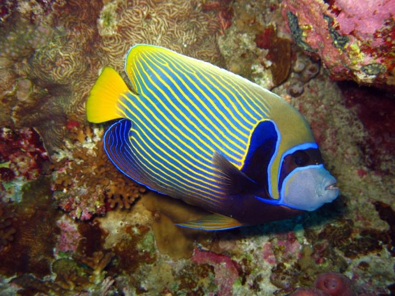 Adventure Scuba Diving Bali  - Emperor Angelfish