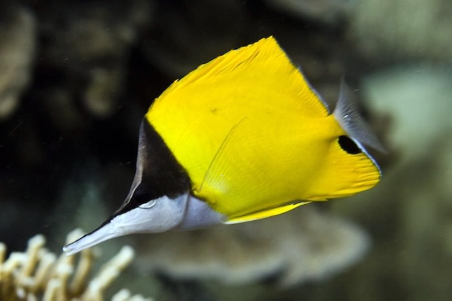 Adventure Scuba Diving Bali  - Long Nose Butterfly Fish