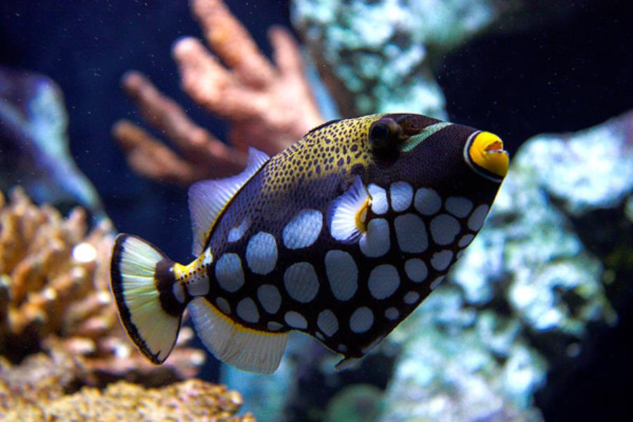 Adventure Scuba Diving Bali - Clown Trigger Fish