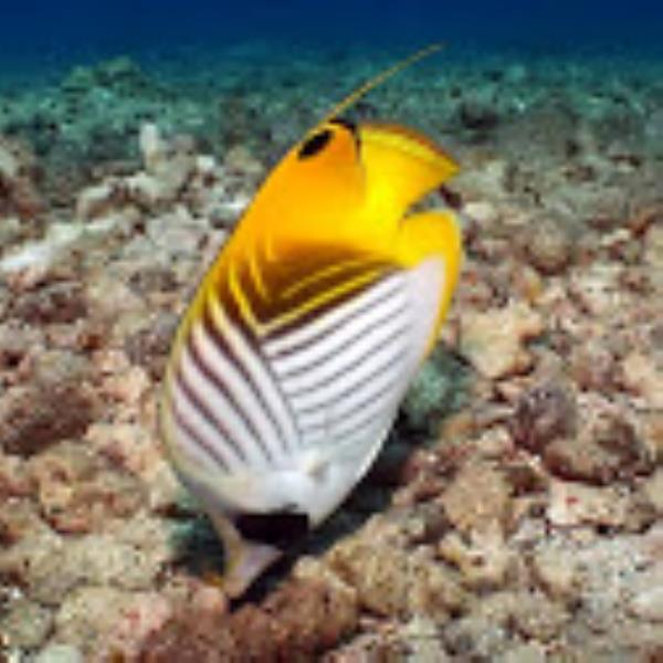 Adventure Scuba Diving Bali - Threadfin Butterflyfish[1]