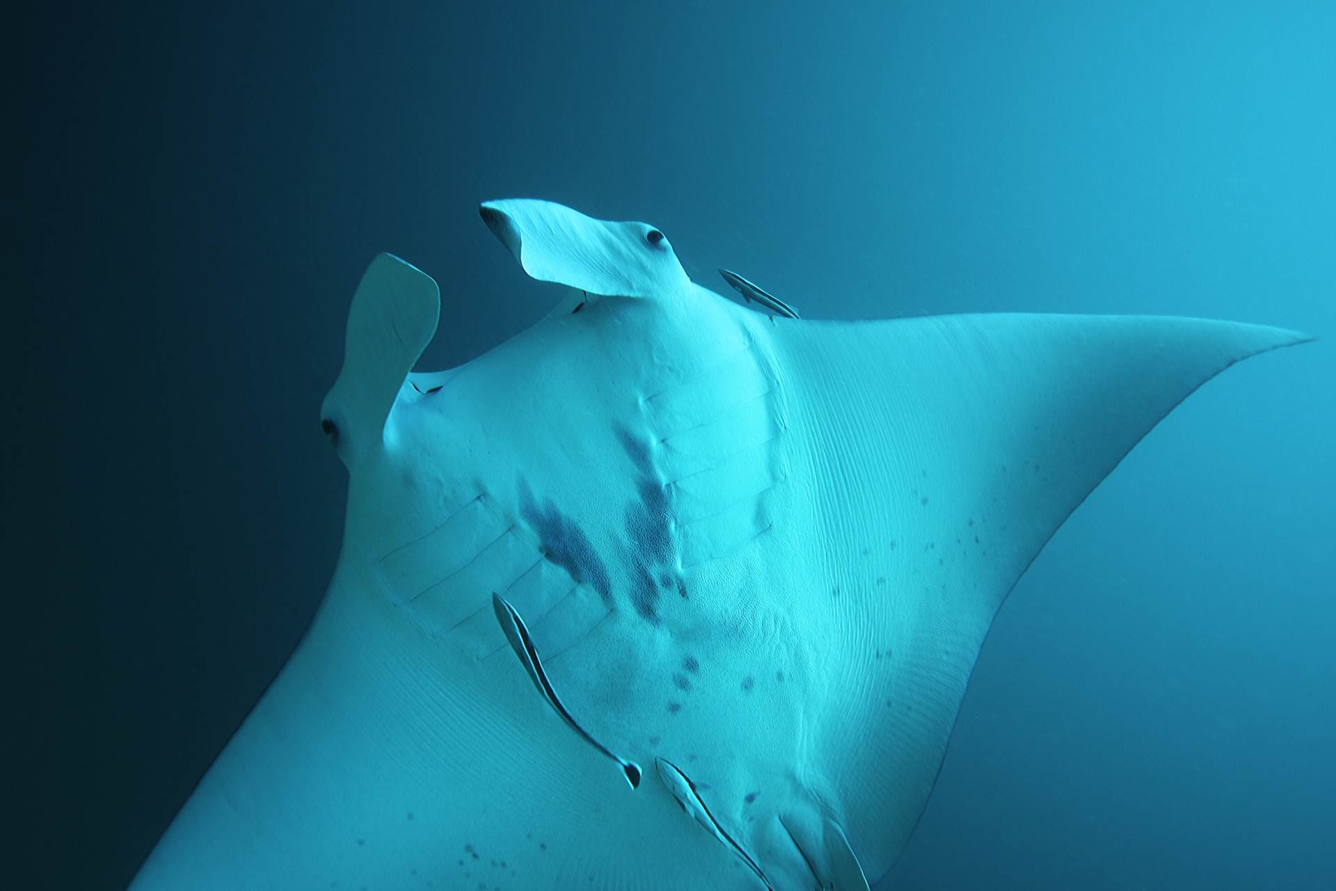 Amazing Manta Rays - Similan Islands Thailand