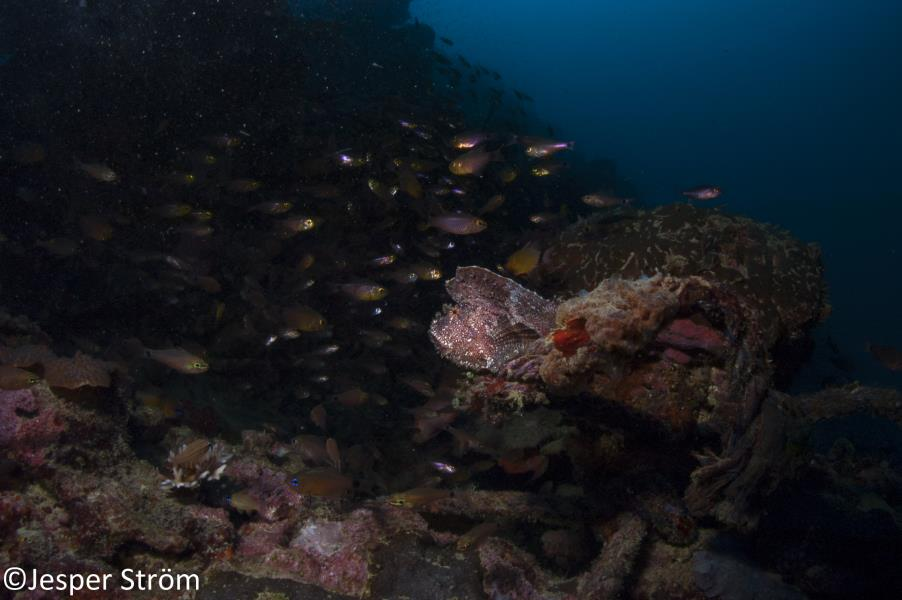 Ambushing Frogfish