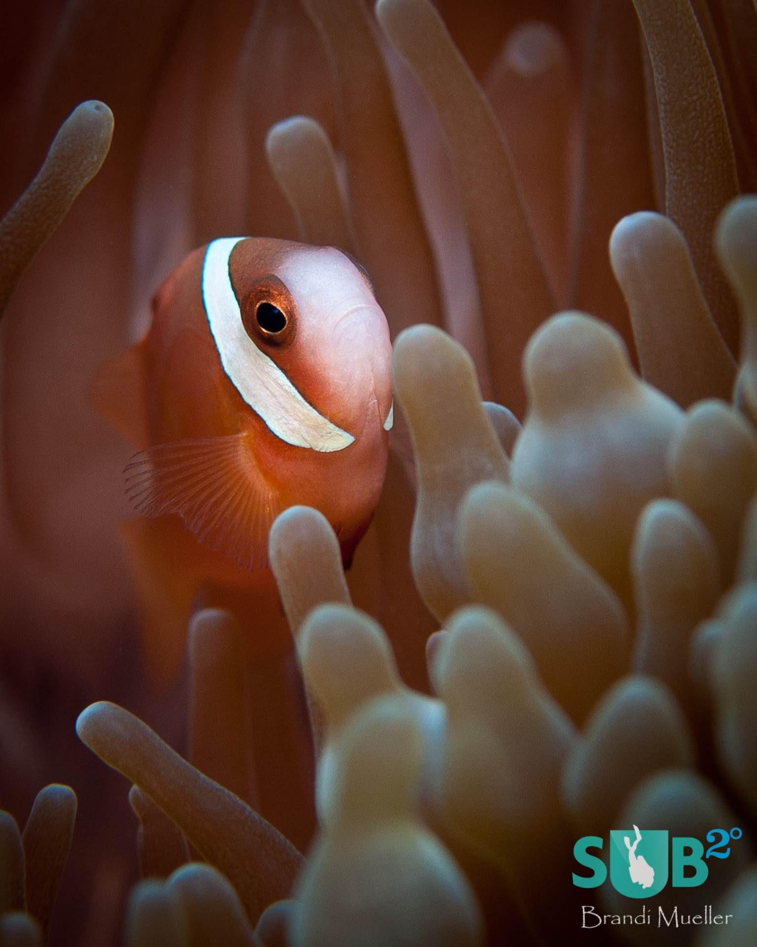 Guam's Gab Gab I dive site has an area with so many anemones and anemonefish that they appear to carpet the coral.