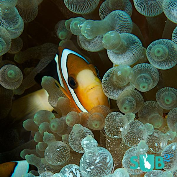 Anemonefish in... Anemone