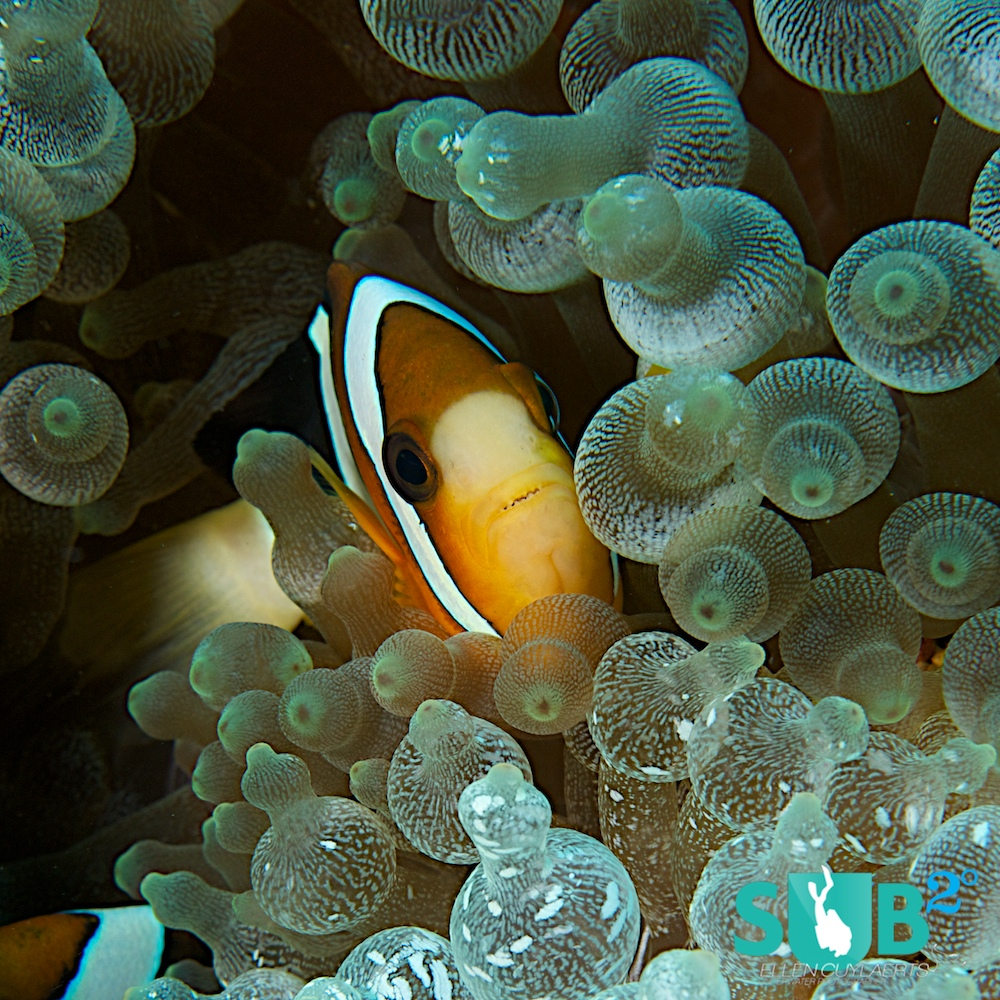 Anemone fish pop out some feet above their hosts and divers can spot them from far. As soon as you approach them, they start swirling through the anemone tentacles.