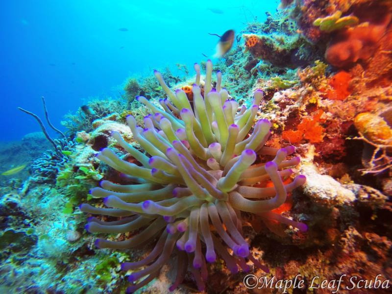 anemone-maple-leaf-scuba-cozumel-dive