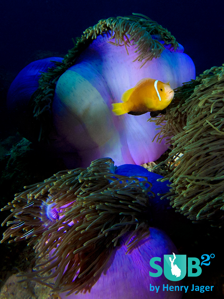 Beautiful anemones are found around Kandooma.