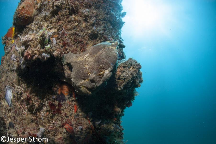 Another frogfish