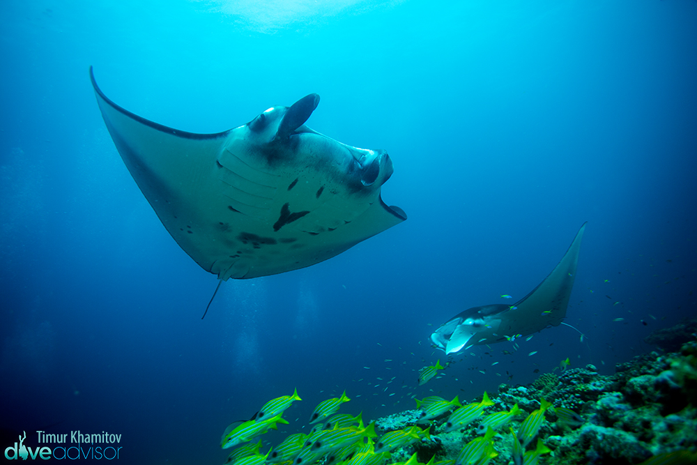 Lovely interaction with manta rays.