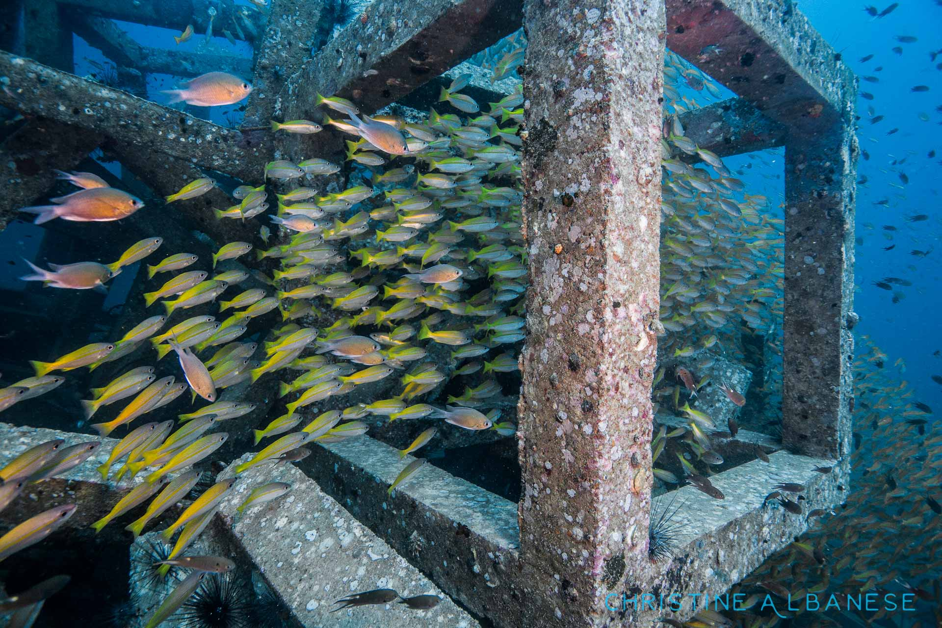 Artificial reefs very quickly become a home to tons of animals! I love snooping around the concrete blocks at sail rock, it is always beautiful!