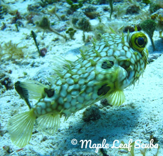 A startled balloonfish