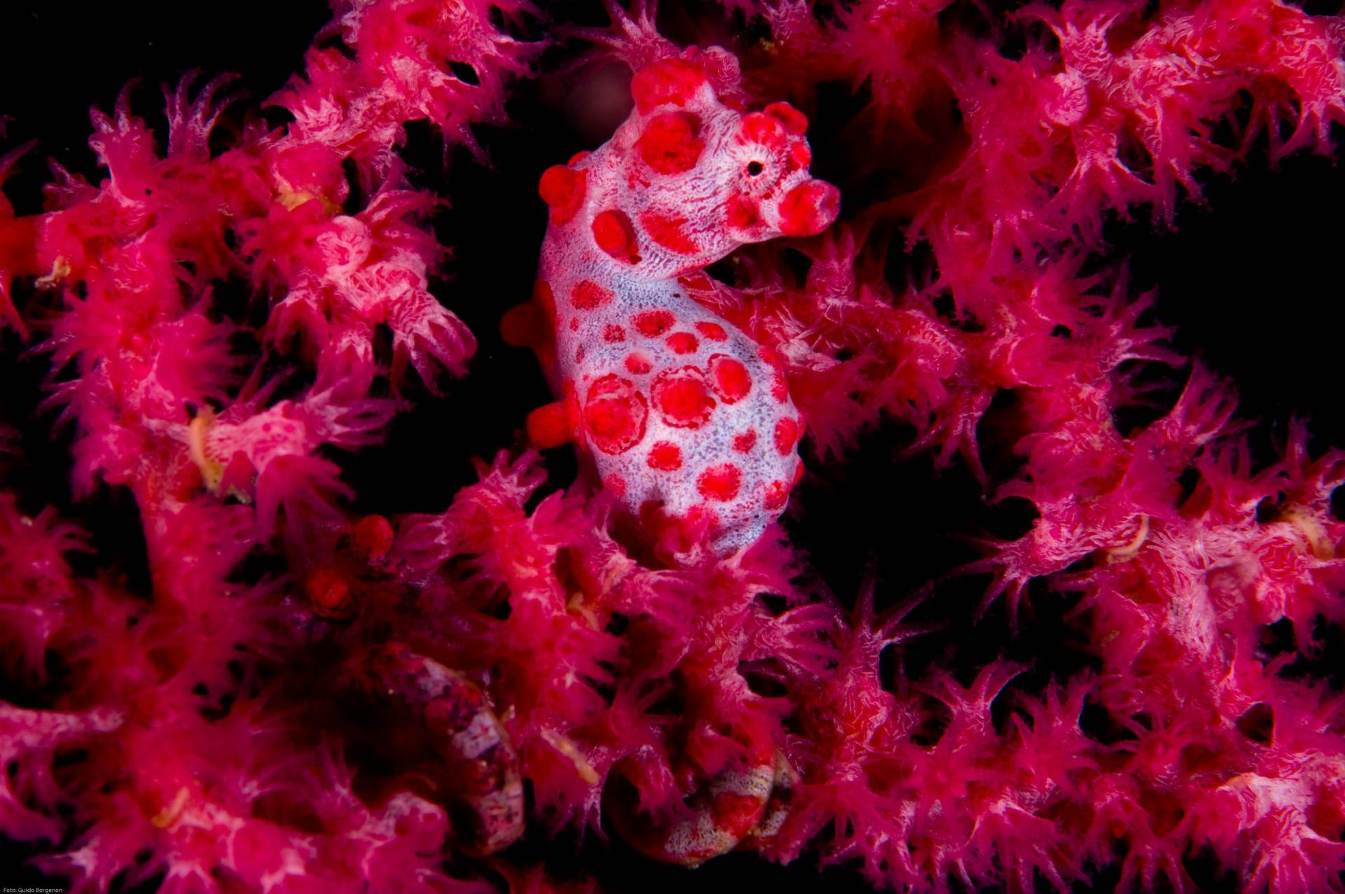 A Bargibant's seahorse (H. bargibanti) spotted in  Komodo, Indonesia. Photo by Guido Borgenon/Guylian Seahorses of the World