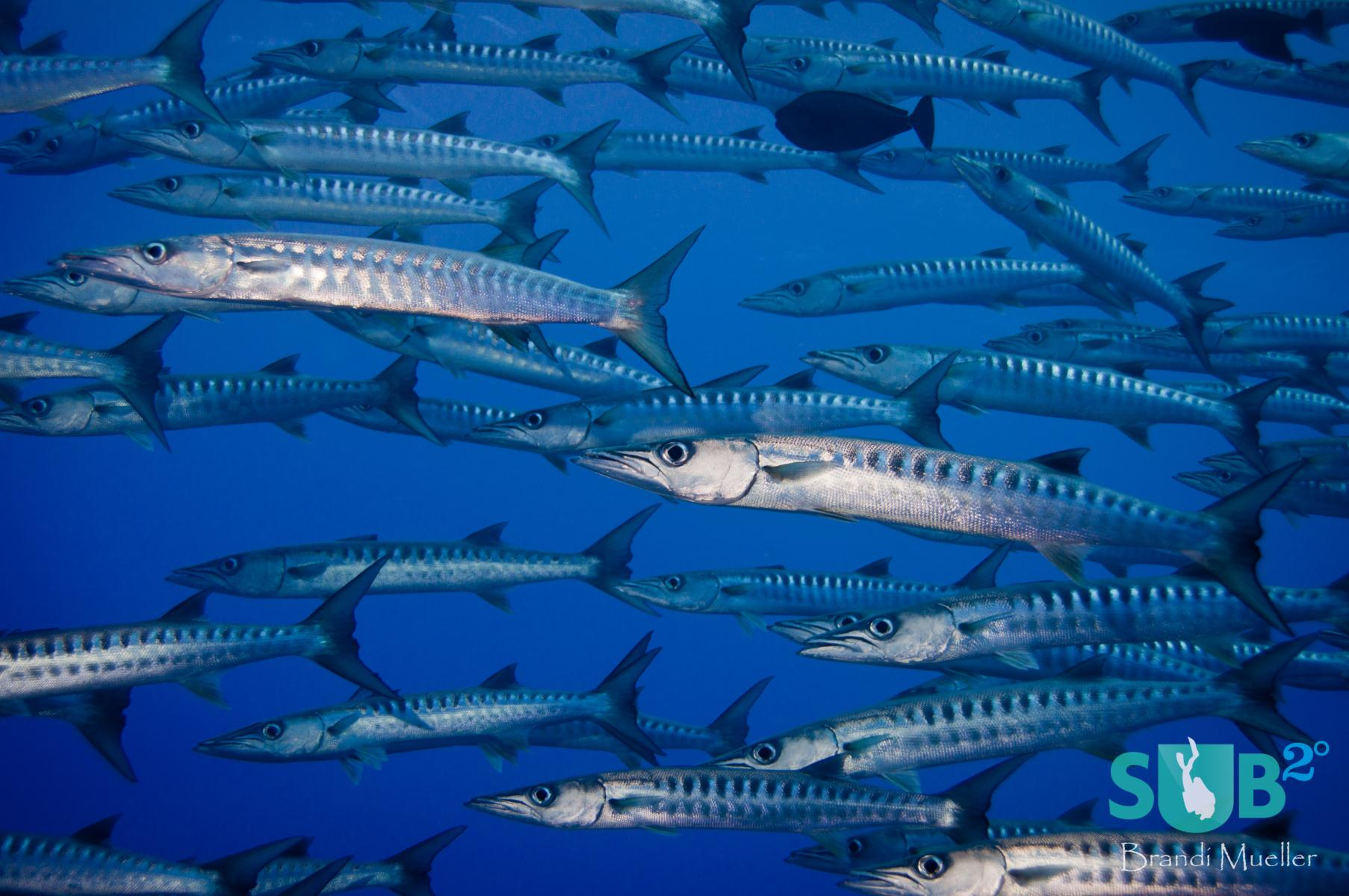 Schools of barracuda hang out at Blue Corner and let divers get very close to them.