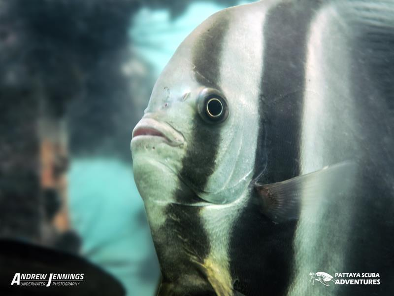 Batfish - Pattaya Thailand