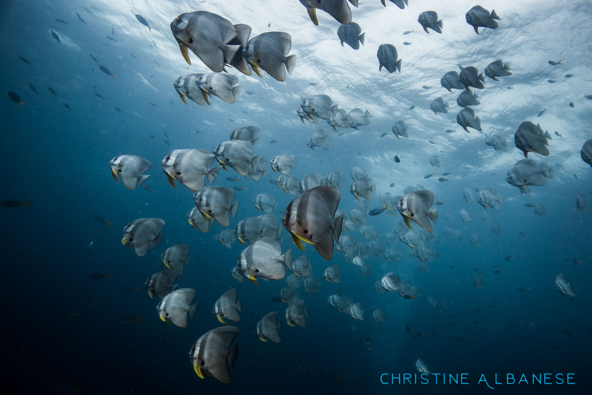 You can just about always count on this large school of batfish hanging out somewhere around Sailrock. One of the many reasons I adore this site so much. .