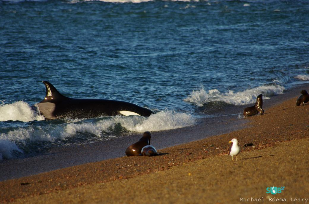 Beaching Killer Whale (Orcinus orca) attempting to capture a seal.