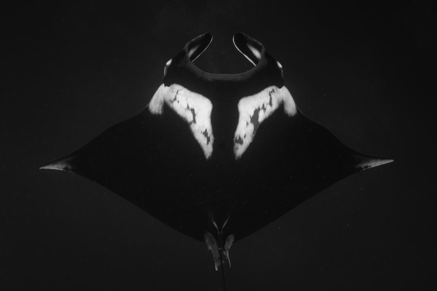 Black and White Manta
