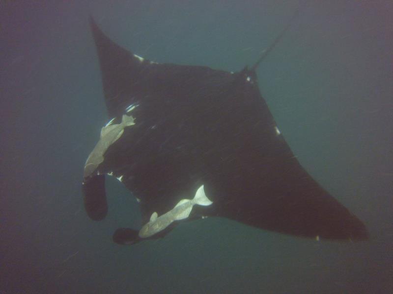 Black Pacific Manta Ray