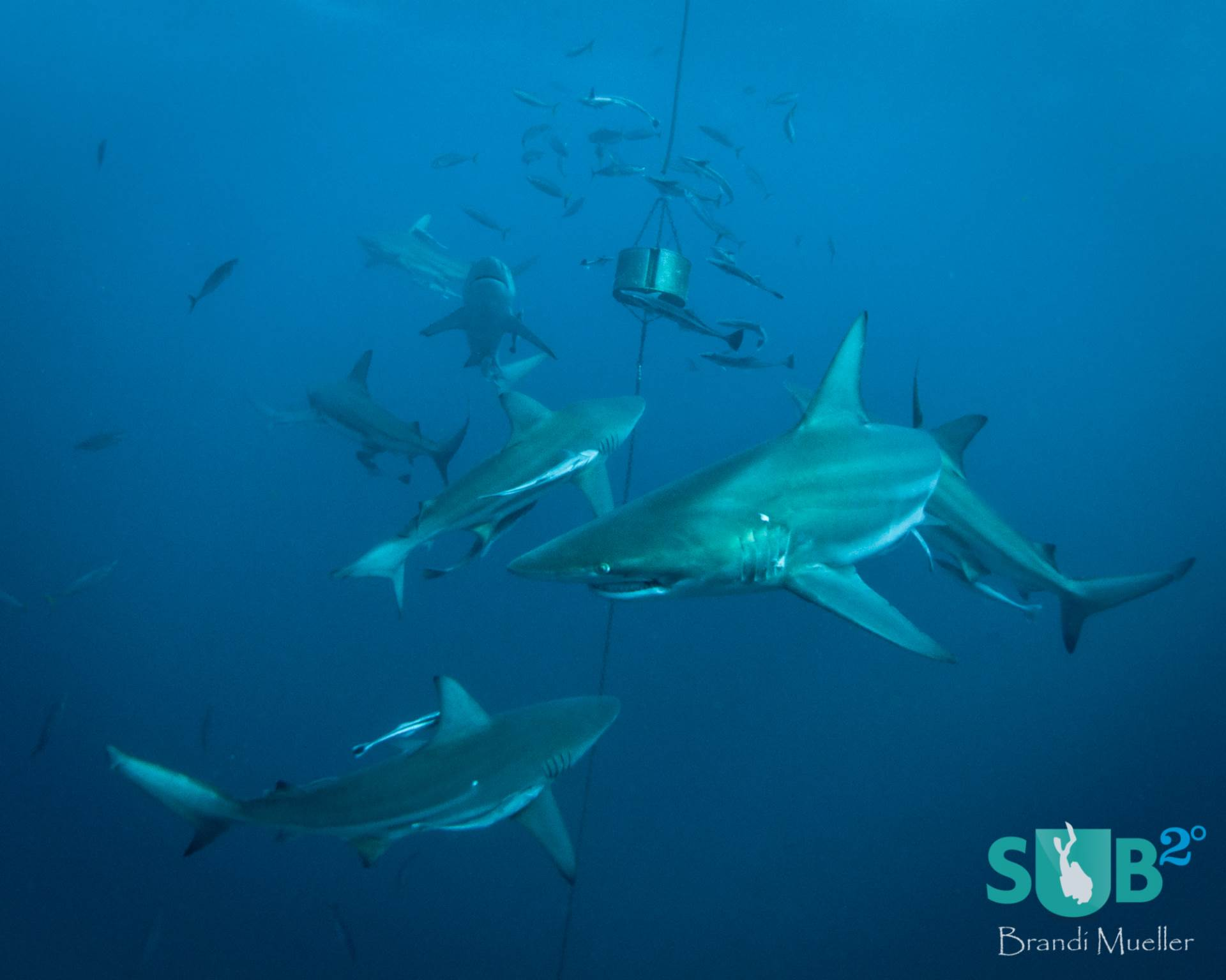 Although they don't get as much attention from divers as the tiger sharks, black tip reef sharks show up for the dives too, often more than 40 or 50 of them.