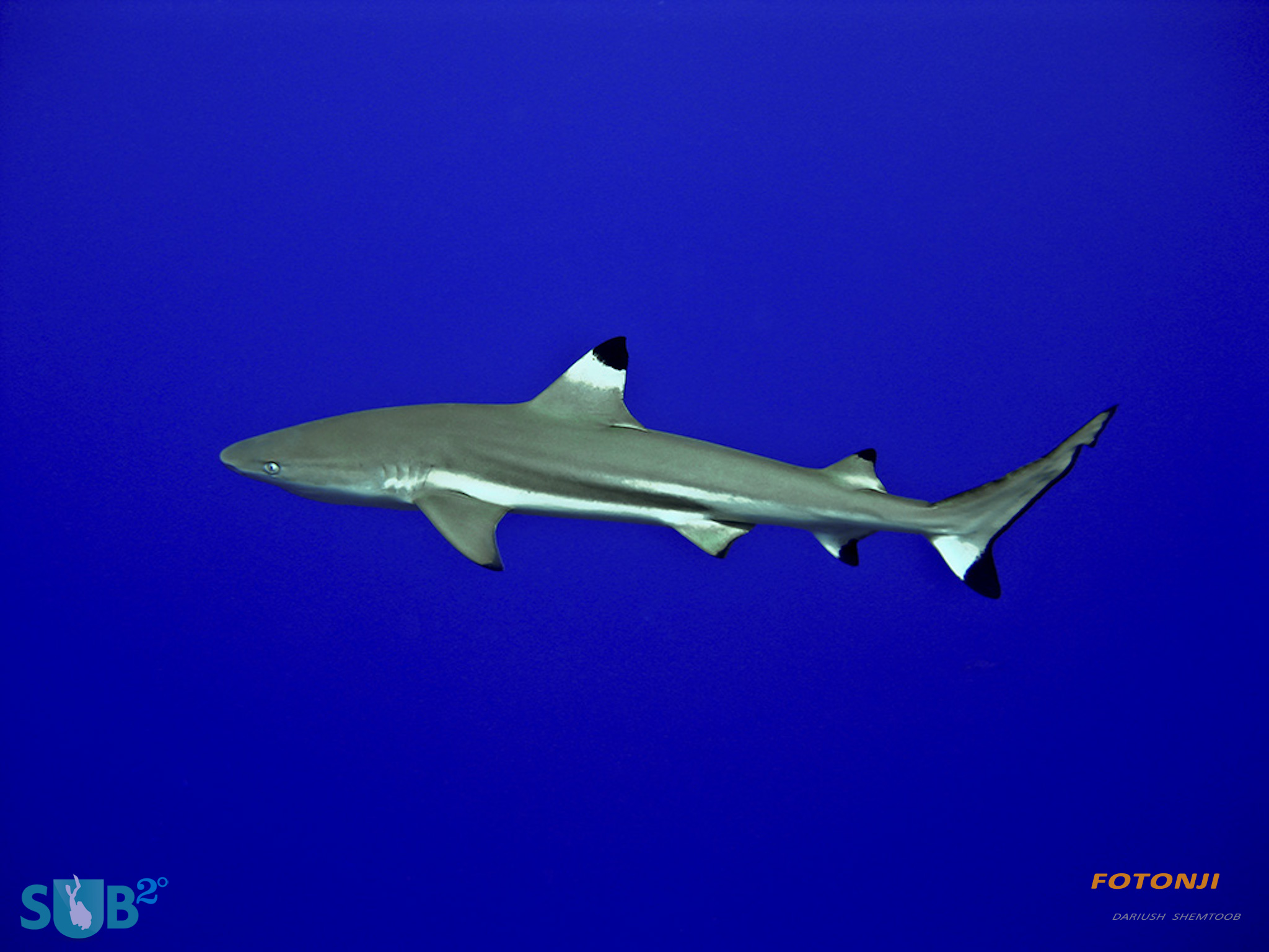 Black Tip Shark