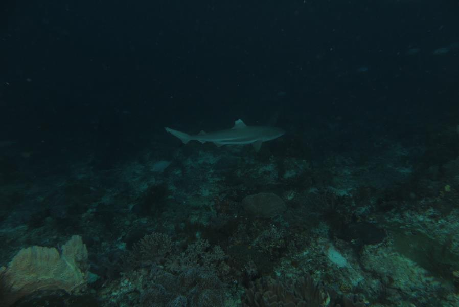Black Tip Shark at Cape Kri