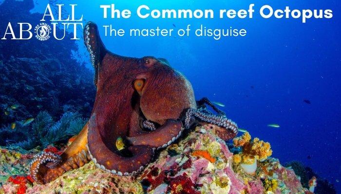 The commen reef Octopus