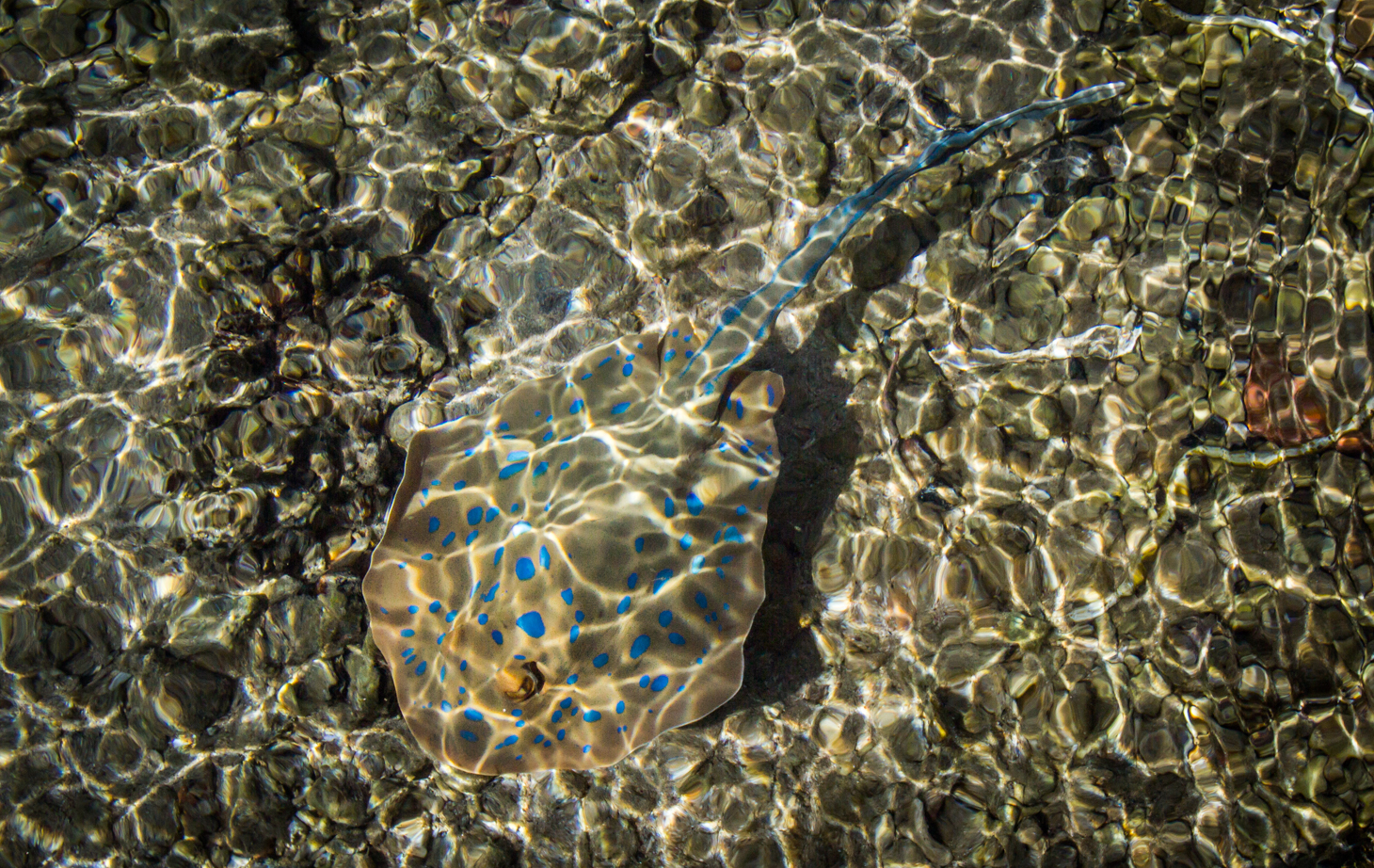Our resident spotted ray who lives beneath our pier at Aurora Bay...