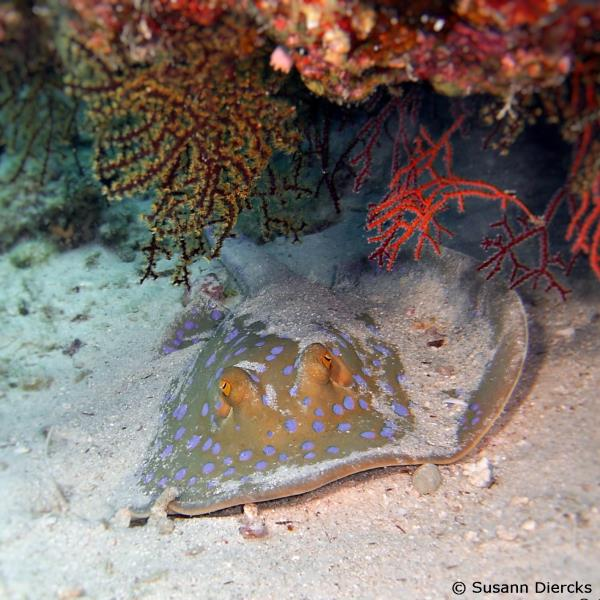 Bluedotted ribbontail ray