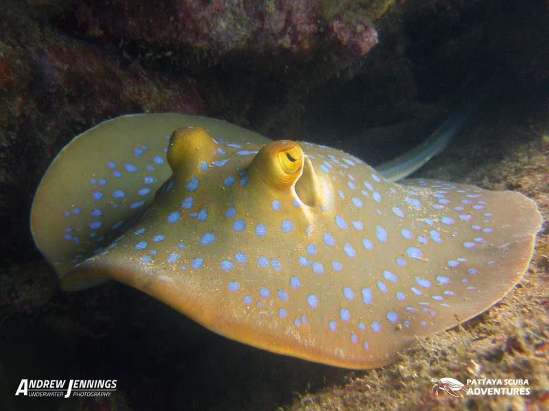 Bluespot Sting Ray Pattaya Thailand