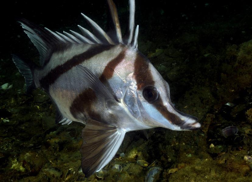 Boar Fish