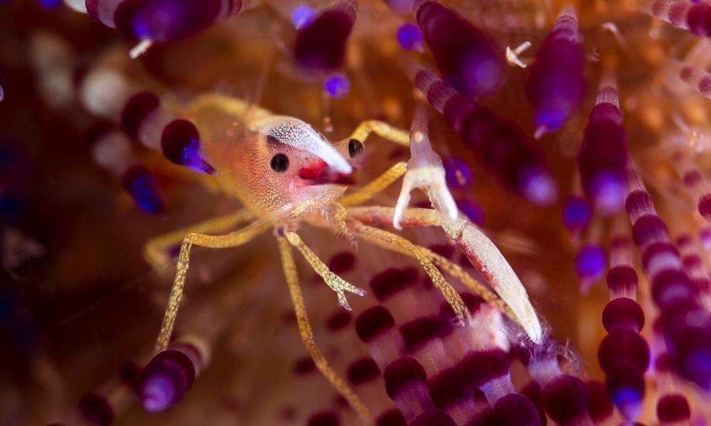 Brook's Urchin Shrimp, Allopontonia brooki