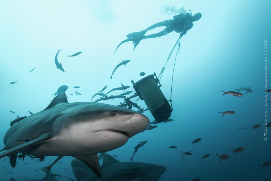 Bull Shark and Diver