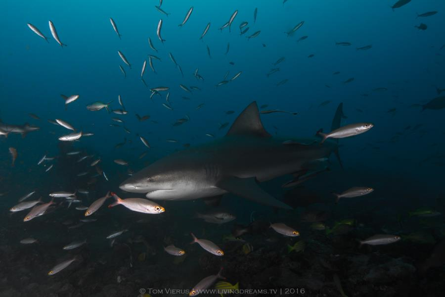Bull Shark in fish swarm