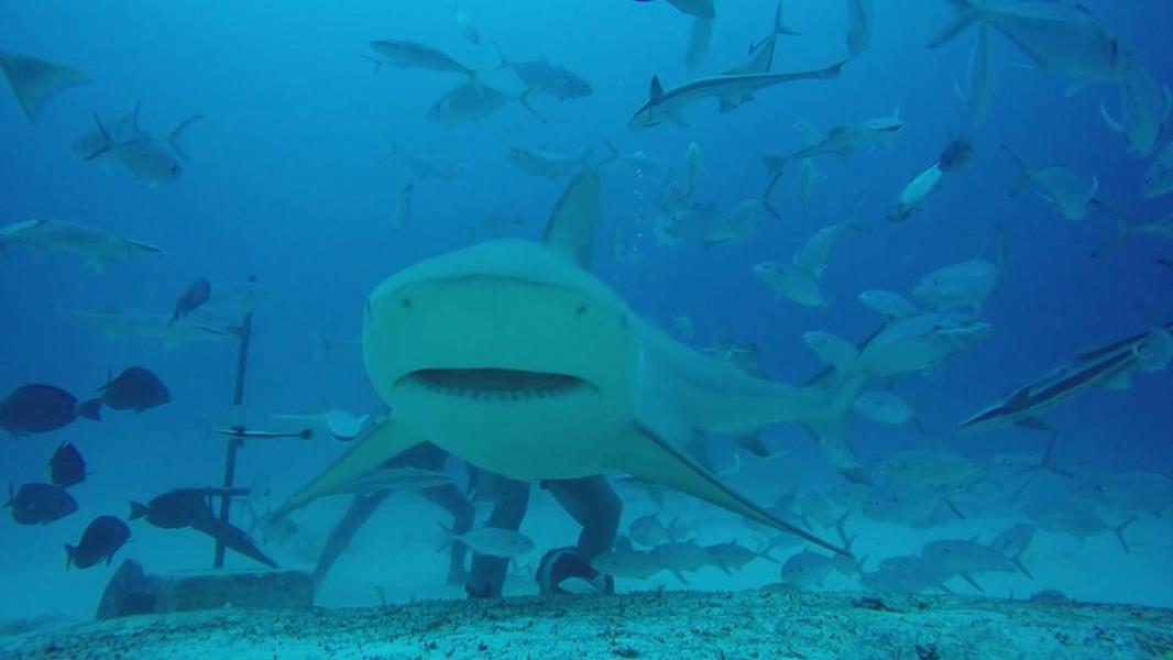 Bull Shark smile
