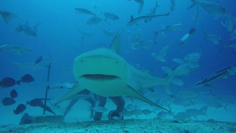 Bull Shark season in Mexico, Lets come and dive with this bautiful creatures in the Mexican paradise Playa del Carmen